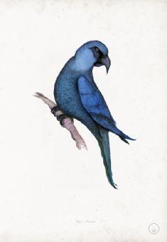 Spix's Macaw - artist signed print